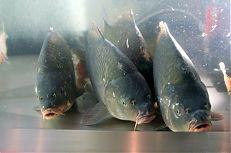 Živé ryby na prodejně ryb v Třeboni