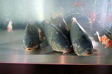 Živé ryby v sortimentu prodejny.